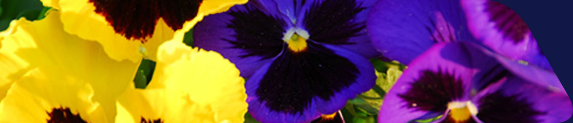 Pansy and Primula: Overwinter