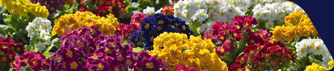 Pansy and Primula: Autumn Sale